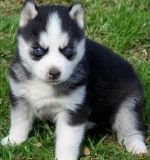 yyyt Siberian Husky puppies for sale