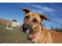Adopt June Bug a Black Mouth Cur