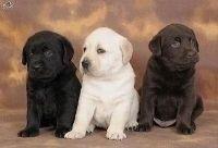 Adorable Labrador Retriever Puppies Available