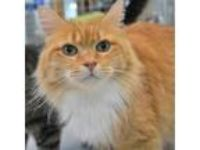 Adopt Mittens H a Domestic Long Hair