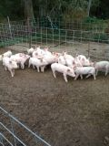 10 week old pigs for sale