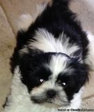 sfsrhbdthfh Shih Tzu puppies for sale