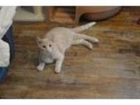 Adopt Gerald a Domestic Short Hair, Tabby