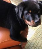 Rottweiler PUPPY FOR SALE ADN-63858 - AKC German Rottweiler Pups Male and Female