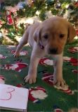 AKC Lab Puppies Ready For Christmas!!