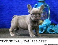 &^% Attractive French Bulldog Puppies Available