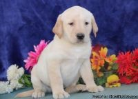 Beautiful M/F Lablador puppies for sale