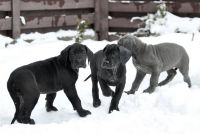 Great Dane PUPPY FOR SALE ADN-62338 - Blue Great Dane