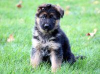 German Shepherd Dog PUPPY FOR SALE ADN-52143 - German Shepherd Puppy For Sale