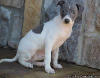 20Pretty Male and Female Italian Greyhound Puppies Ready To Go Now