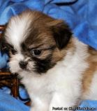 Playful SHIH TZU Puppies (724xx 427xx 5281