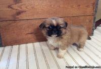 QDOAD M\F Pekingese Puppies