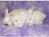 Adopt Dixie, Dahlia and Darlin a Bunny Rabbit