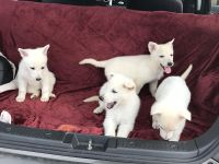 Husky Puppies need Home Free Delivery!
