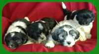 Coton de Tulear PUPPY FOR SALE ADN-55656 - APRI Christmas Cotons