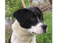 Adopt Jack Cheese a Border Collie, Boston Terrier