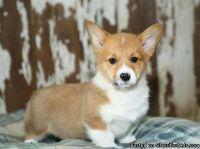 Registered Pembroke Welsh Corgi puppies for sale