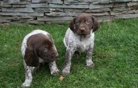 Amusing German shorthaired pointer Puppies for sale