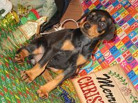 DOBERMAN PUPPIES FOR SALE........
