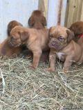 iyugjtjn Dogue de Bordeaux Puppies Ready for sale