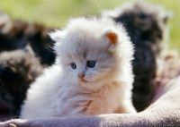 X,^x Persian Cat Breed Kittens for sale