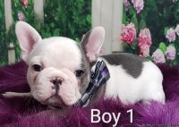 GORGEOUS BLUE FRENCH BULLDOGS