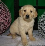 Eastpointe RHSP #! Golden Retriever Puppies