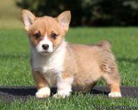 Nkod AKc Pembroke Welsh Corgi Puppies Available Now
