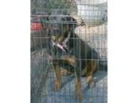 Adopt MISSY a Black - with Tan, Yellow or Fawn Rottweiler / Mixed dog in New