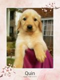 AKC Golden Retriever - Champions Bloodlines