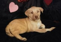 Siberian Husky-American Pit Bull Terrier Mix PUPPY FOR SALE ADN-62602 - Pitsky Puppies