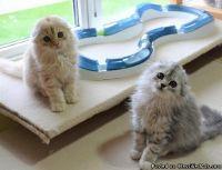 , boy/girl scottish fold kittens available