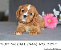 Incredible.!!&^%. Cavalier King Charles Spaniel Puppies Available
