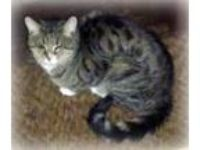 Adopt Rae Rae a Gray, Blue or Silver Tabby Domestic Shorthair / Mixed (short