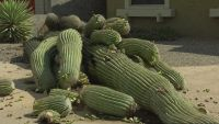 Saguaro Cactus Removal Gilbert Az 85233 85234 * Afforable Prices * Same Day Service * Insured