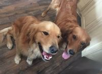 Golden Retriever PUPPY FOR SALE ADN-48905 - AKC Golden Retriever Puppies