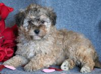 Lhasa-Poo PUPPY FOR SALE ADN-64368 - Lhasapoo Puppy for Sale