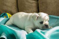 French Bulldog PUPPY FOR SALE ADN-62694 - Wiggle
