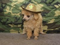 Poodle (Toy) PUPPY FOR SALE ADN-52571 - Teacup Apricot male Poodle