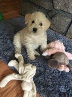 Poodle (Miniature)-Miniature French Schnauzer Mix PUPPY FOR SALE ADN-56434 - Miniature Scnhoodle