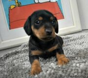 Nicely Dachshund Puppies for sale