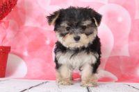 Morkie PUPPY FOR SALE ADN-63450 - Georgia Cutest Female Morkie Puppy