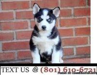 Respectful Siberian Husky Puppies Available