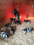 Bluetick Coonhound PUPPY FOR SALE ADN-64367 - UKC Bluetick Puppies