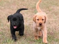 wfdfdf Best Male and Female Labradoodle Puppies