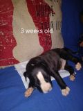 American Pit Bull Terrier PUPPY FOR SALE ADN-62657 - Dual registered pitbull bullies Ukc and abkc regis