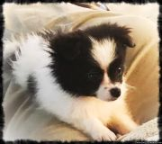 Pom Puppy ready for a new home