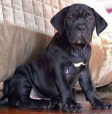 Cane Corso PUPPY FOR SALE ADN-62850 - World Winner Xman Line Pups