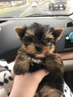 Yorkshire Terrier PUPPY FOR SALE ADN-63186 - Miniature Purebred Yorkie