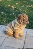 Lovely pure breed Chinese Shar Pei puppies